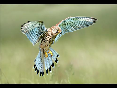 Female kestrel hunting