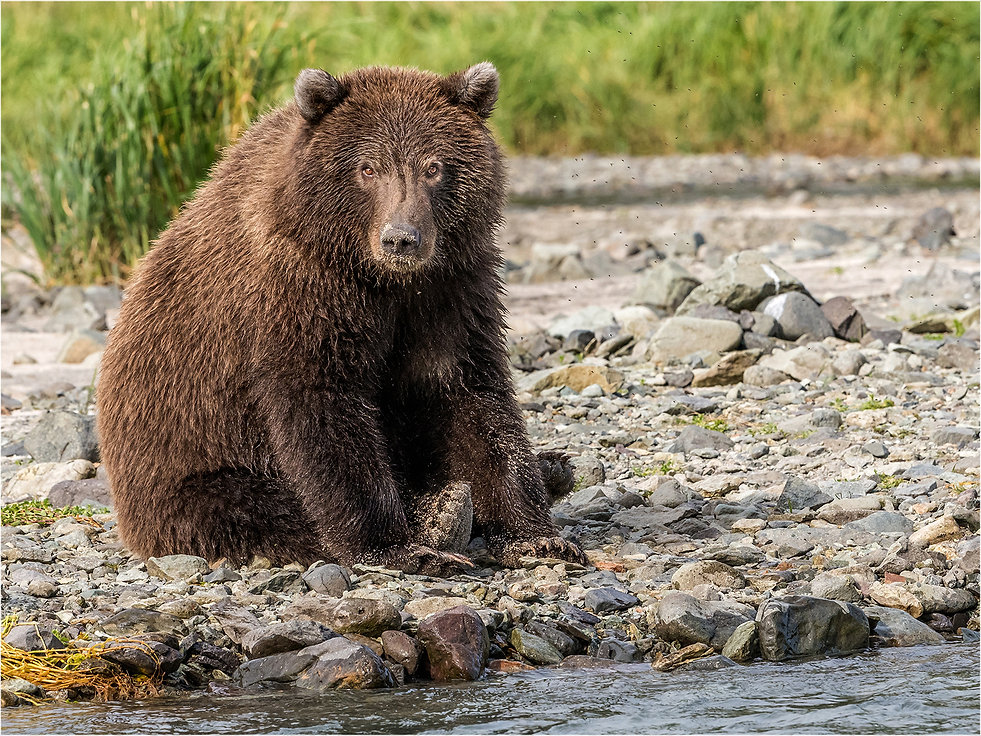 Grumpy Grizzly Yearling