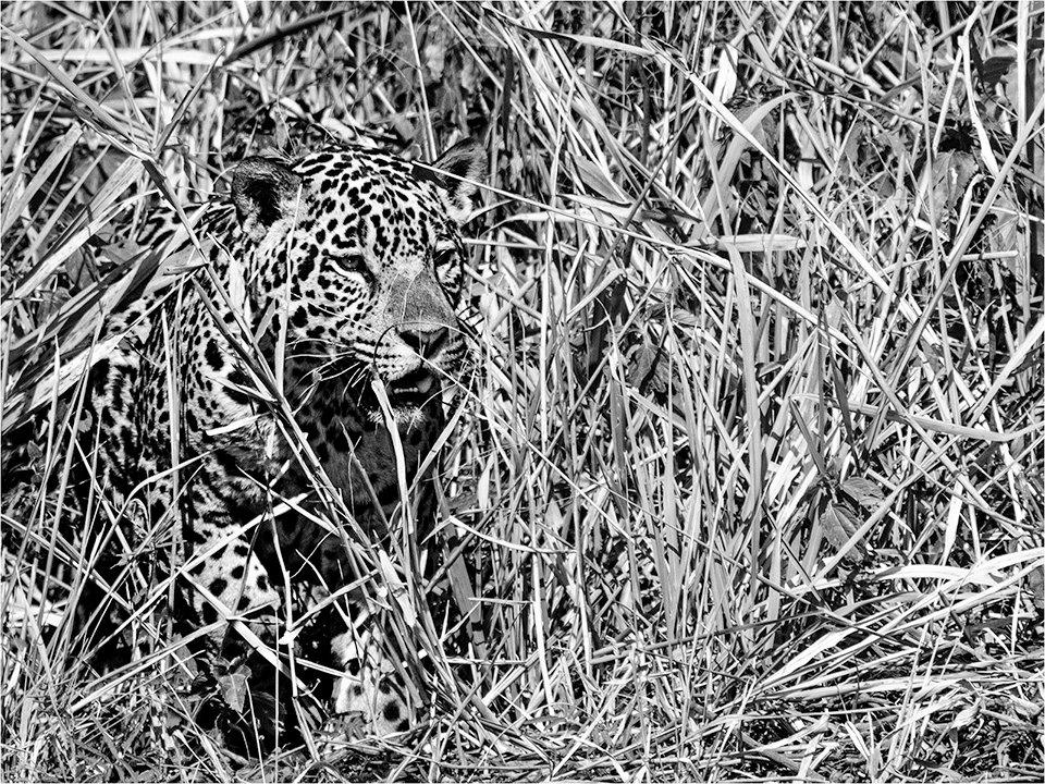 Spot The Jaguar