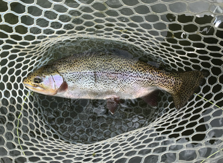 Rainbow Trout, Part 2 of 2: Global Invaders