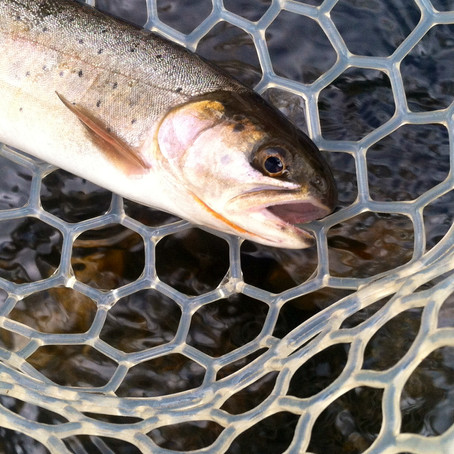 A Lesson From History: The Extinct Yellowfin Cutthroat