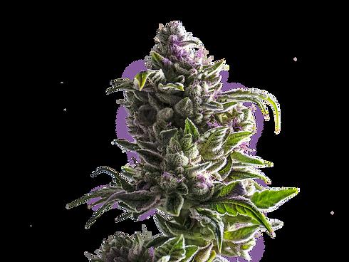 PurpleBud_Hires.png