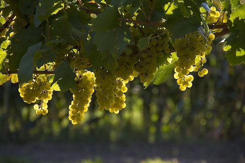 grapes-1758134_960_720.jpg