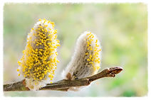 Pussywillow image