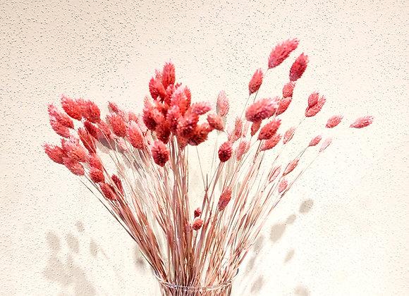 Phalaris (Glanzgräser) rosa