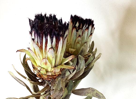 Protea schwarz