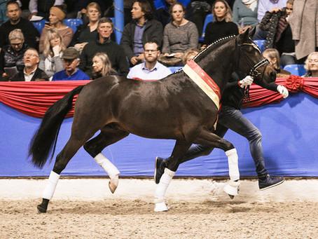Neverland WE becomes champion stallion