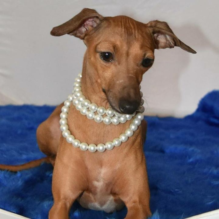 Goldie - Blanerne Fields of Gold : Italian Greyhound