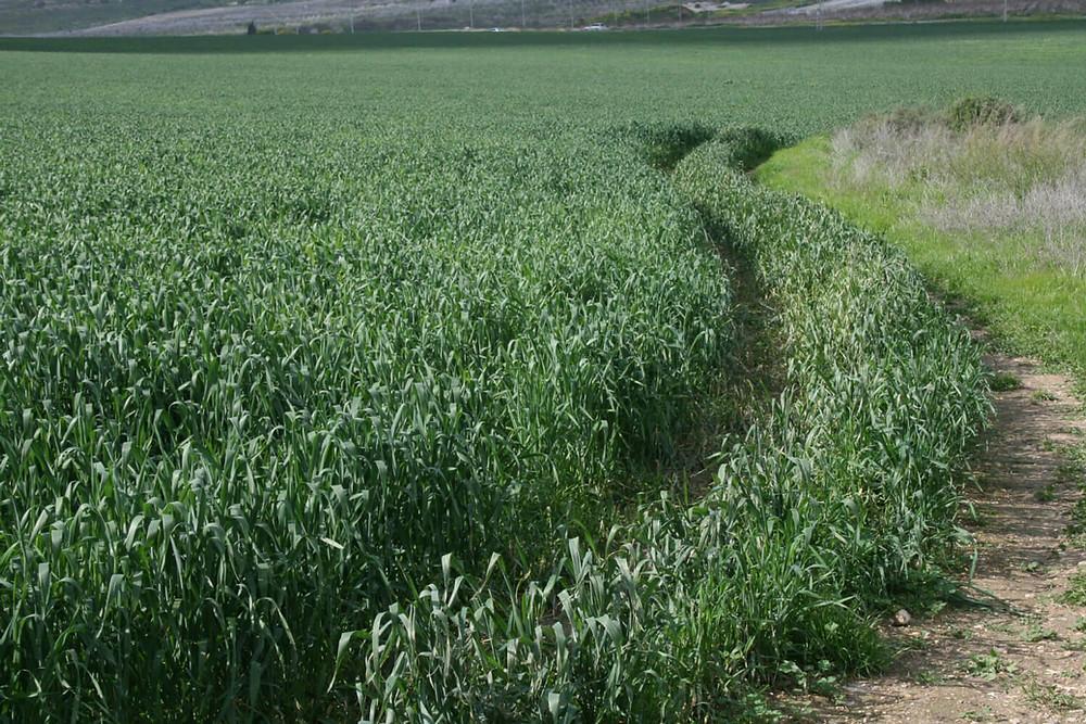 """שדות חיטה בשביל ישראל למרגלות קיבוץ הל""""ה"""
