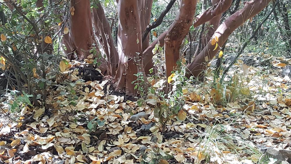 עצי דולב בנחל כזיב