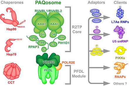 """R2TP/PFDL complex (PAQosome) """"packing"""" individual subunits into an active protein complexe"""