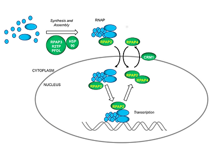 RPAP4/XAB1/GPN1 and RPAP2 regulate nuclear import of RNA polymerase II