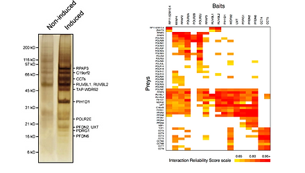 Discoverof a 11-subunit complex containing RPAP3 that we named RPAP3/R2TP/PDF-like