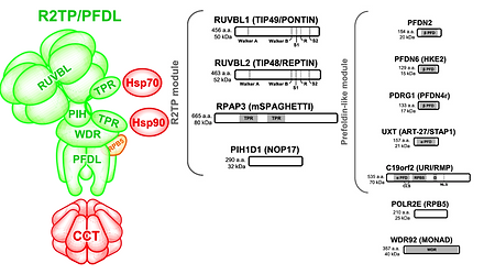 Schematic representation of R2TP/PFDL showing its R2TP module