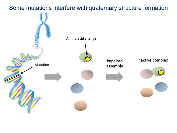 Some mutations interfere with quaternary structure formation