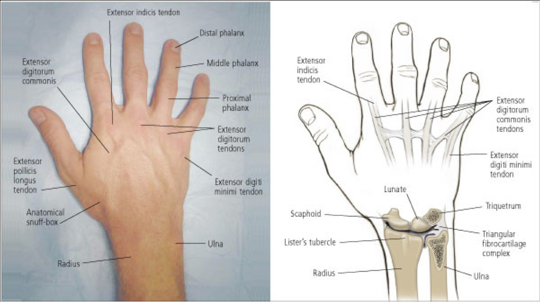 Hand anatomy - dorsal/posterior