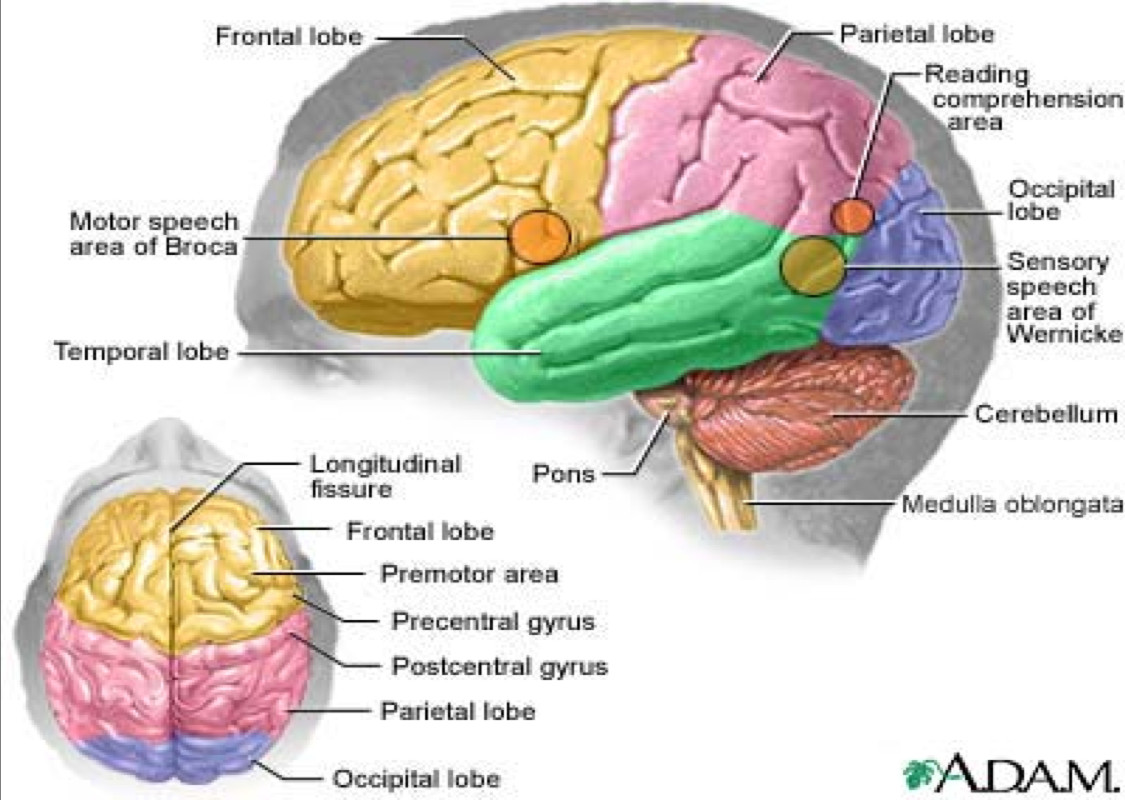 Lobes And Regions Of The Brain
