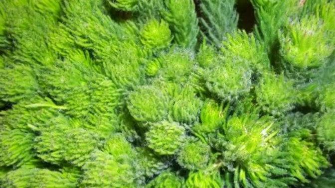 ALBIFLORA GREEN 50 - 70CM