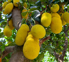 jackfruit-hanging-tree.jpg