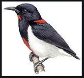 Scarlet flowerpecker_edited.jpg