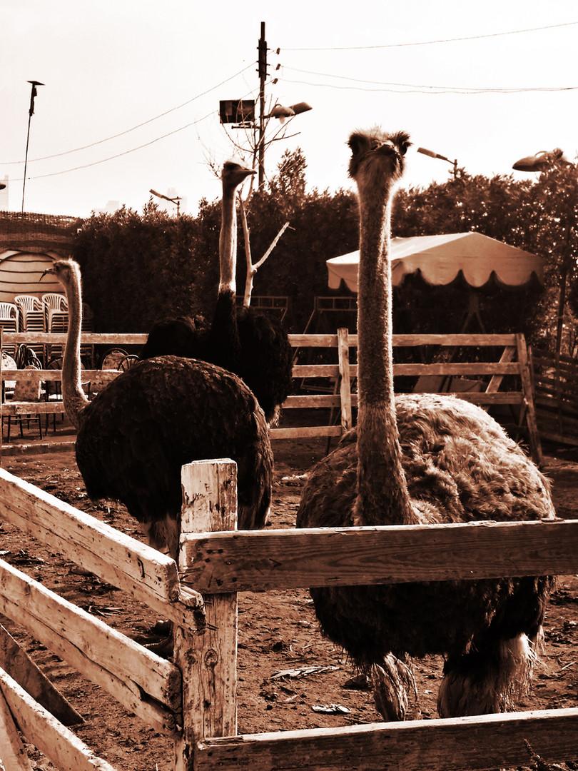 Geziret Al Dahab 6 - Ostrich Holding Pen