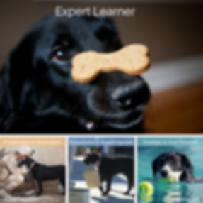 Dogs showing different qualities of expert learning. Strategic and goal directed (dog has grabbed tennis ball in the pool), Resourceful and knowledgeable (Dog with a bag in its mouth), Purposeful and motivated (Dog greeting soldier returning home), Expert learner (Dog balancing treat on nose.