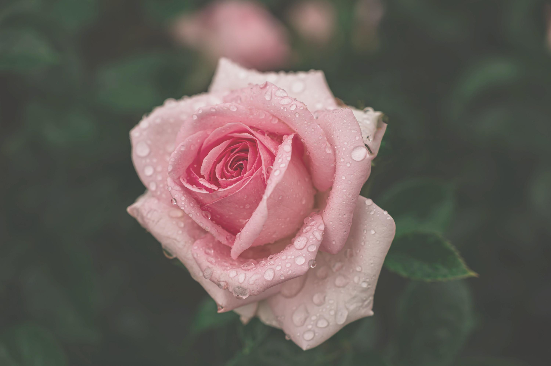 Hydra Rose