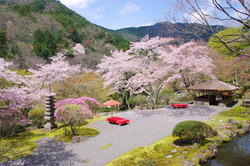 hakuryu-sakura