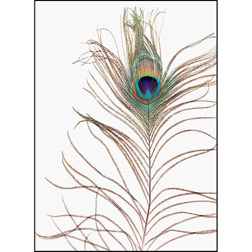 Greeting/Note Card - Peacock Feather
