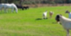 Gots Cows Horses