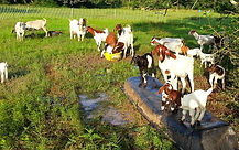 Goats baby goats