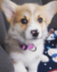 corgi, pembroke welsh corgi, corgi puppies for sale, pembroke welsh corgi puppies for sale, cardigan welsh corgi puppies, cardigan welsh corgi puppies for sale, corgi breeders, pembroke welsh corgi breeders, welsh corgi, welsh corgi breeders, corgi breeders, corgi puppy breeders,