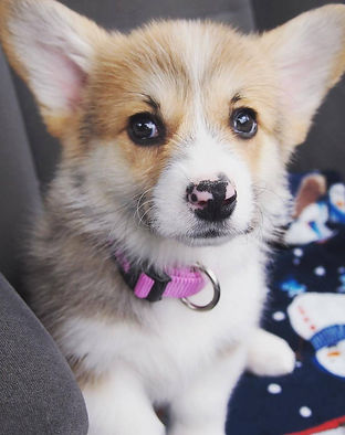 corgi, pembroke welsh corgi, corgi puppies for sale, pembroke welsh corgi puppies for sale, cardigan welsh corgi puppies, cardigan welsh corgi puppies for sale, corgi breeders, pembroke welsh corgi breeders, welsh corgi, welsh corgi breeders, corgi breeders, corgi puppy breeders,