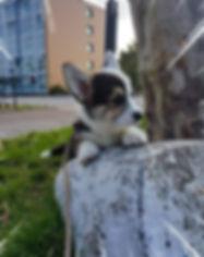 pembroke welsh corgi puppies for sale ne