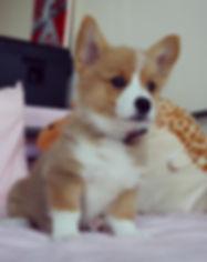 Teacup Corgi Puppies