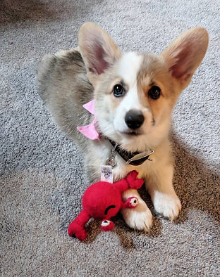 pembroke welsh corgi puppies for sale Ca
