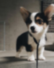 pembroke welsh corgi puppies for sale in