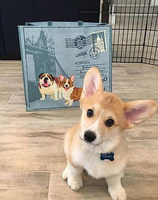 Pembroke Welsh Corgi Pups For Sale