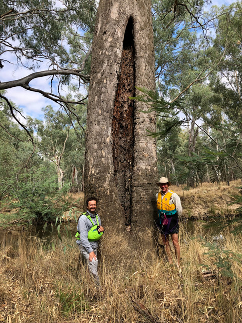 Scarred tree, lower Ovens River