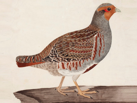 1836: Partridges saved by misfire