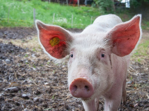 Pig Screening Test Detects up to 2x as Many Chromosome Translocatons Compared to Regular Karyotyping