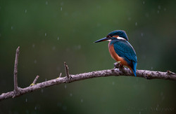 Martin pêcheur Sous la pluie