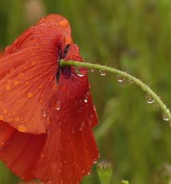 Coquelicot après la pluie