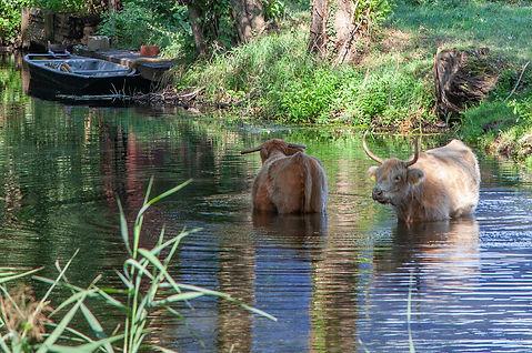Die Spreewälder Kühe gehen gern mal baden im Sommer.