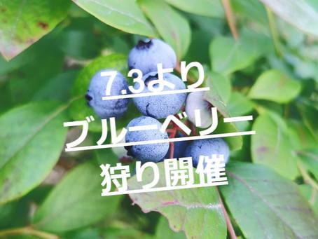 ※雨天決行!【7.3土曜日より】ブルーベリー収穫体験がスタートします