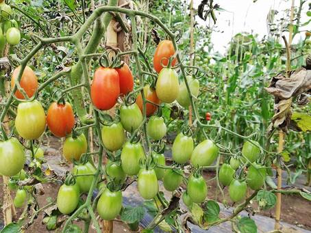 【ブルーベリーも追加】野菜収穫体験のお知らせ