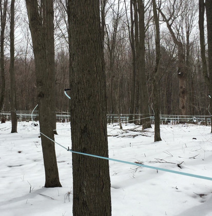 Sugar woods with tubing