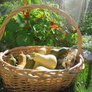 Squash harvest.jpg