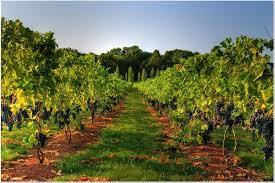 Hopewell Valley Vineyard rows