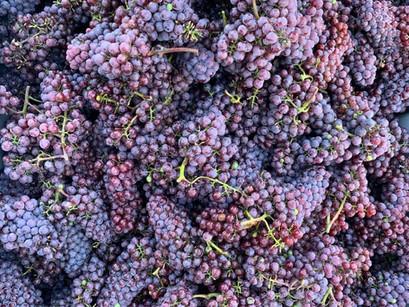 Unsere Weinlese 2020_Die Zweite